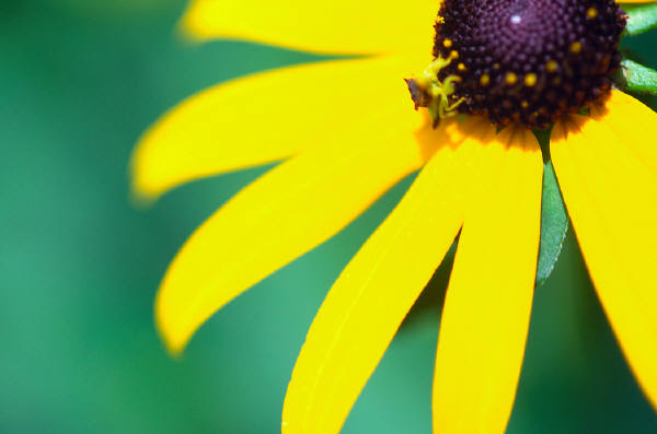 Photo of a black-eyed susan flower